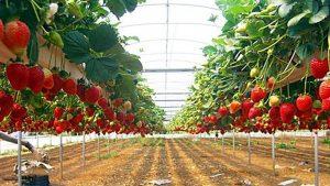 petik buah kusuma agro